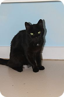 Domestic Shorthair Cat for adoption in North Branford, Connecticut - Mia