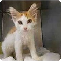 Adopt A Pet :: Buttercup - Arlington, VA