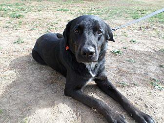 Catahoula Leopard Dog/Labrador Retriever Mix Dog for adoption in Oakland, Arkansas - Cezar