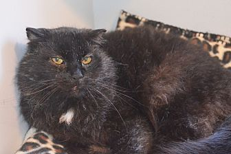Domestic Mediumhair Cat for adoption in Lincoln, Nebraska - Simply Red