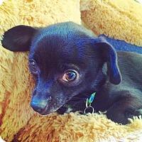 Adopt A Pet :: Estrellita - San Francisco, CA