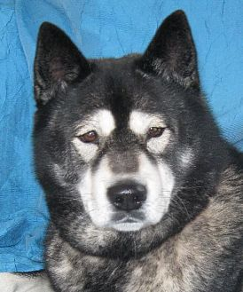 Chow Chow/Akita Mix Dog for adoption in Cuba, New York - Kuda