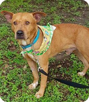 Cattle Dog/Labrador Retriever Mix Dog for adoption in Houston, Texas - Little Joe