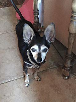 Chihuahua Mix Dog for adoption in Blanchard, Oklahoma - Fra'be