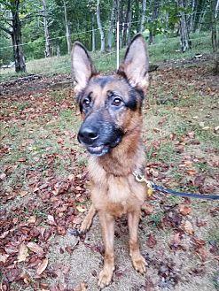 German Shepherd Dog Dog for adoption in Louisville, Kentucky - Titus