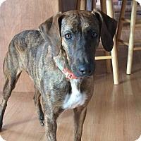 Adopt A Pet :: Missie - SOUTHINGTON, CT