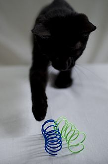 Domestic Shorthair Kitten for adoption in Jefferson, North Carolina - Ryan
