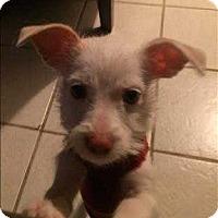 Adopt A Pet :: Lulu - Encino, CA