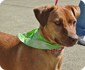 Vizsla/Beagle Mix Dog for adoption in Somerset, Kentucky - Tasha