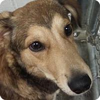Sheltie, Shetland Sheepdog Mix Dog for adoption in Paducah, Kentucky - Sam