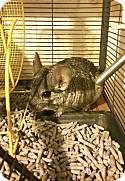 Adopt a Pet :: Chinchillas! - Sharon Center, OH -  Chinchilla