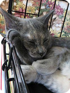 Domestic Shorthair Kitten for adoption in Frederick, Maryland - Faith
