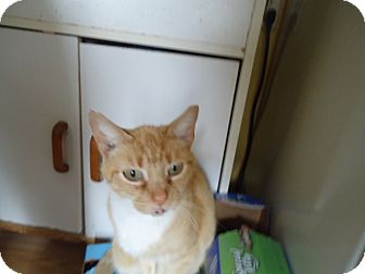 Domestic Shorthair Cat for adoption in Cleveland, Ohio - Gracie Girl