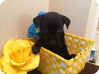 Labrador Retriever/German Shepherd Dog Mix Puppy for adoption in Inglewood, California - Oliver