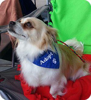 Pomeranian/Chihuahua Mix Dog for adoption in Ogden, Utah - Boston