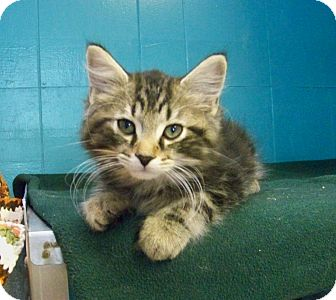 Domestic Longhair Kitten for adoption in Dover, Ohio - Dante