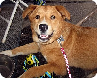 Shepherd (Unknown Type)/Golden Retriever Mix Dog for adoption in Jemez Springs, New Mexico - Lacey