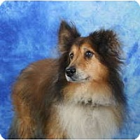 Adopt A Pet :: Calvin - Ft. Myers, FL