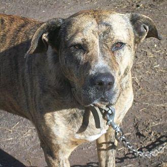 Pit Bull Terrier Mix Dog for adoption in Norristown, Pennsylvania - Heidi