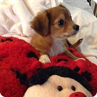 Adopt A Pet :: Princess BRD - Pinellas Park, FL
