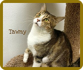 Domestic Shorthair Cat for adoption in Foothill Ranch, California - Tawny