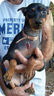 Miniature Pinscher Dog for adoption in Mansfield, Texas - Minster