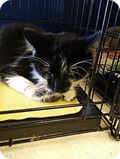 Domestic Longhair Cat for adoption in Avon, Ohio - BamBam