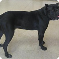 Adopt A Pet :: Hercules - Gary, IN