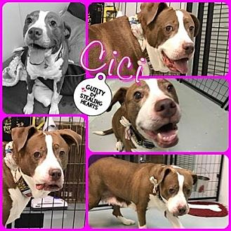 American Staffordshire Terrier/American Pit Bull Terrier Mix Dog for adoption in Louisiana, Missouri - CiCi
