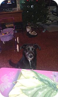 Schnauzer (Standard)/Airedale Terrier Mix Dog for adoption in Alamosa, Colorado - Granny
