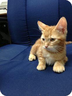Domestic Shorthair Kitten for adoption in Fountain Hills, Arizona - BOO