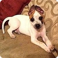 Adopt A Pet :: Chloe cutest pup - Sacramento, CA