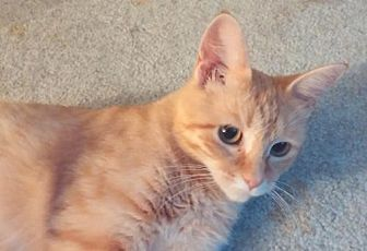 Domestic Shorthair Cat for adoption in Fenton, Missouri - BASTET