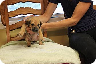 Shepherd (Unknown Type) Mix Puppy for adoption in Coventry, Rhode Island - Romo