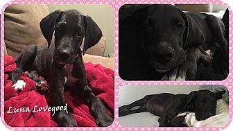Great Dane Puppy for adoption in DOVER, Ohio - Luna Lovegood