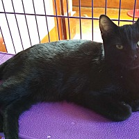Domestic Shorthair Kitten for adoption in Sharon Center, Ohio - Rachel