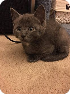 Domestic Shorthair Kitten for adoption in Jackson, New Jersey - Logan