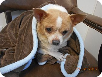 Chihuahua Dog for adoption in haslet, Texas - Roxie