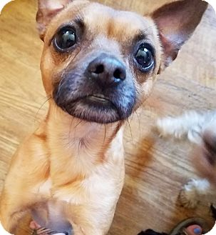 Chihuahua/Pug Mix Dog for adoption in Kingston, Tennessee - Skipper