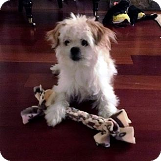 Shih Tzu Mix Dog for adoption in Ridgefield, Connecticut - Divo n/k/a Ernie