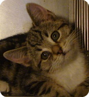 Domestic Shorthair Kitten for adoption in El Cajon, California - Hope