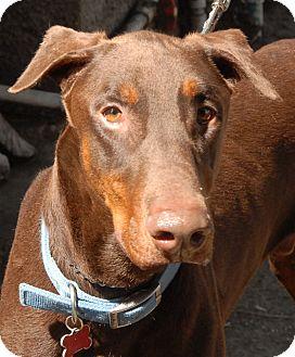 Doberman Pinscher Dog for adoption in Sun Valley, California - Jacob