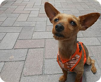 Yorkie, Yorkshire Terrier/Chihuahua Mix Dog for adoption in Las Vegas, Nevada - Josie