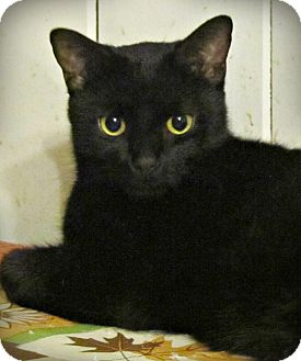 Domestic Shorthair Kitten for adoption in Seminole, Florida - Moon