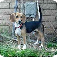 Adopt A Pet :: Snugglebug - Phoenix, AZ