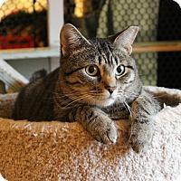 Domestic Shorthair Cat for adoption in Carlisle, Pennsylvania - Ishani