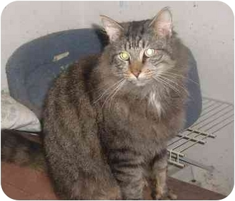 Maine Coon Cat for adoption in Bedford, Massachusetts - Rascal