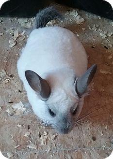 Chinchilla for adoption in Granby, Connecticut - Snowball