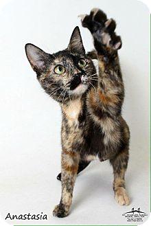 Domestic Shorthair Cat for adoption in Luling, Louisiana - Anastasia