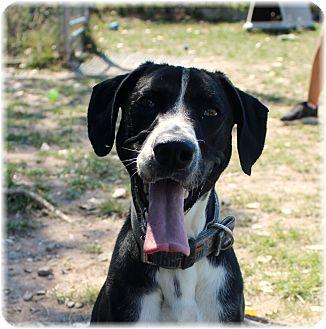 Hound (Unknown Type)/Border Collie Mix Dog for adoption in Welland, Ontario - Onyx